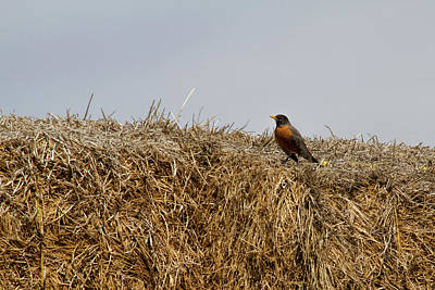 Photograph - Round Bale Robin by Alana Thrower