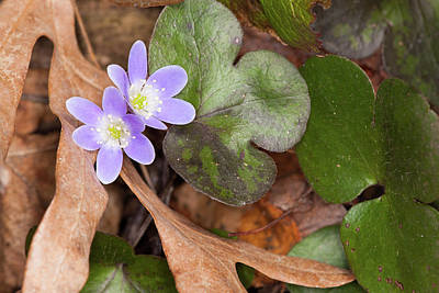 Photograph - Round-lobed Hepatica by Bernard Lynch