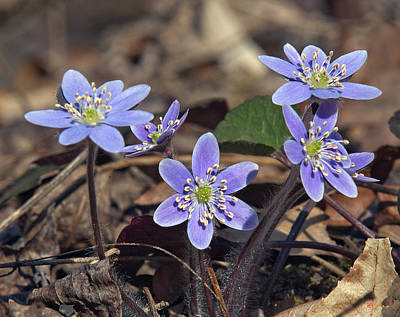 Photograph - Round-lobed Hepatica Dspf116 by Gerry Gantt