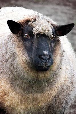Animals Photos - Round sheep by Mihaela Pater