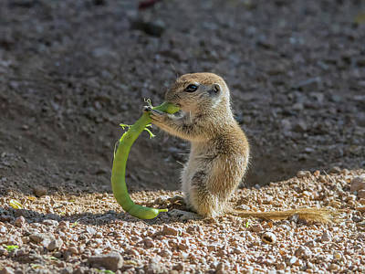 Photograph - Round-tailed Ground Squirrel Eating 1252 by Tam Ryan