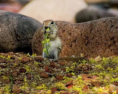 Round-tailed Ground Squirrel Photograph - Round-tailed Ground Squirrel H44 by Mark Myhaver