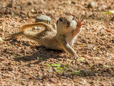 Photograph - Round-tailed Ground Squirrel Stretch by Tam Ryan