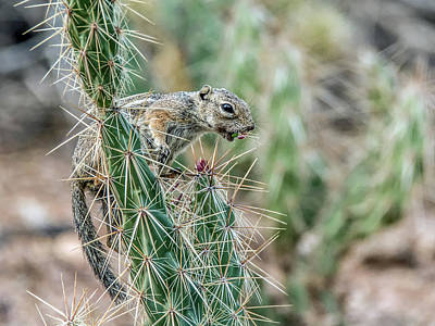 Photograph - Round-tailed Ground Squirrel by Tam Ryan