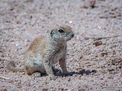 Round-tailed Ground Squirrel Photograph - Round-tailed Ground Squirrel by Tamera Wohlever