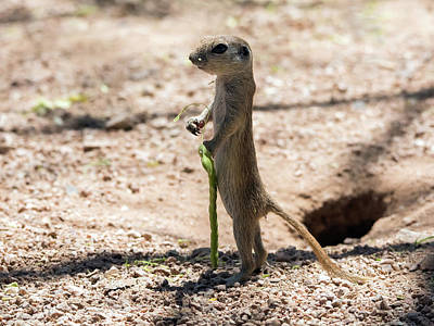 Photograph - Round-tailed Ground Squirrel With Mesquite Pod 1605-052817-cr by Tam Ryan