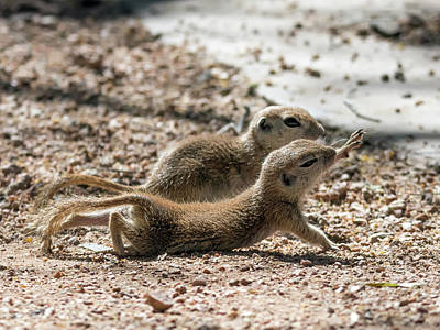 Photograph - Round-tailed Ground Squirrels  0198-051917-cr by Tam Ryan