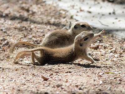 Photograph - Round-tailed Ground Squirrels  0199-051917 by Tam Ryan