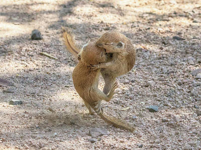 Photograph - Round-tailed Ground Squirrels Fight 1746 by Tam Ryan