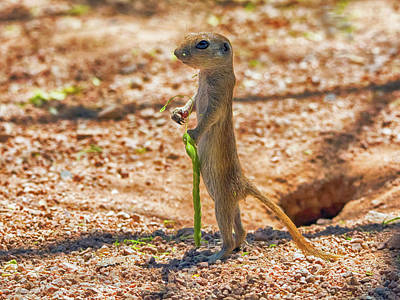 Photograph - Round-tailed Ground Squirrel's Walking Stick by Tam Ryan