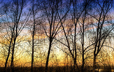 Photograph - Row Of Birch Trees In Silhouette In Colour by John Williams