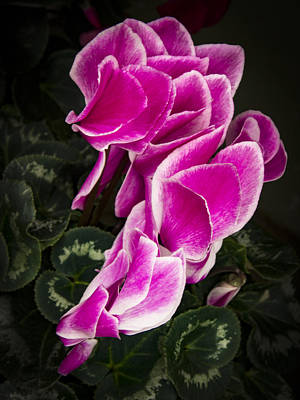 Photograph - Row Of Cyclomen Flowers By Jean Noren by Jean Noren