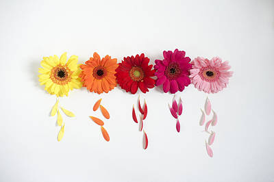 Row Of Gerbera Daisies On White Background Art Print