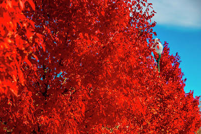Row Of Red Autumn Trees Art Print