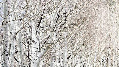 Flagstaff Wall Art - Photograph - Row Of White Birch Trees by Susan Schmitz