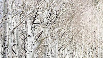 Photograph - Row Of White Birch Trees by Susan Schmitz