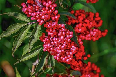 Photograph - Rowan Berries #1 by Leif Sohlman