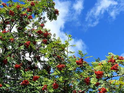 Photograph - Rowan Tree - Blue Sky by Phil Banks