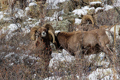 Photograph - Rowdy Rams by Jim Garrison
