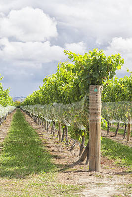 Photograph - Rows In Vineyard by Patricia Hofmeester