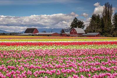 Photograph - Rows Of Colorful Tulips At The Farm by Pierre Leclerc Photography