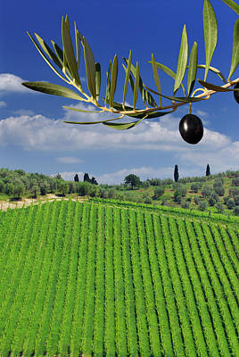 Tuscany Photograph - Rows Of Grape Vines And Olive Trees In Tuscany With Blue Sky by Reimar Gaertner