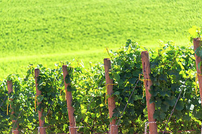 Pinot Noir Photograph - Rows Of Grapes by Jess Kraft