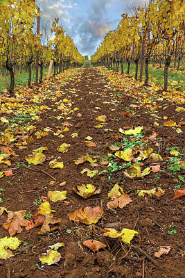 Photograph - Rows Of Grapevines In Fall Season by David Gn