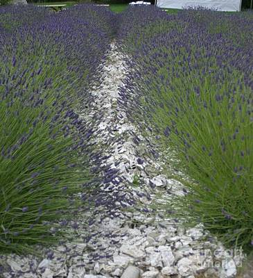 Rows Of Lavender Art Print by Robert Torkomian