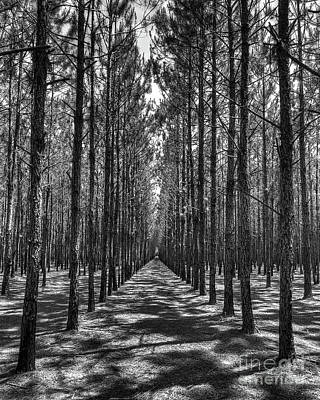 Photograph - Rows Of Pines Vertical by Tommy Patterson