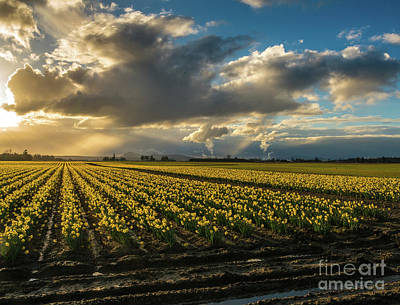 Skagit Photograph - Rows Of Skagit Gold by Mike Reid