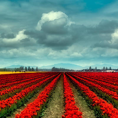 Photograph - Rows Of Tulips by David Patterson