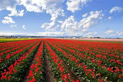 Photograph - Rows Of Tulips by Doug Oriard