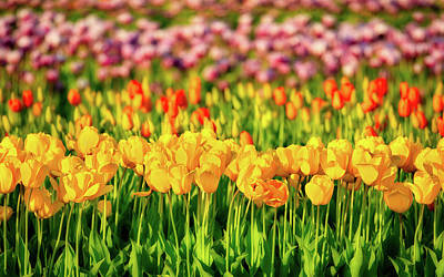 Photograph - Rows Of Tulips by Jerry Fornarotto