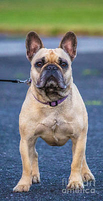 French Bull Dog Wall Art - Photograph - Roxy Dog Stance by Carl Therriault