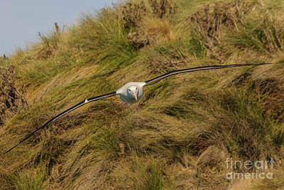 Photograph - Royal Albatross 2 by Werner Padarin