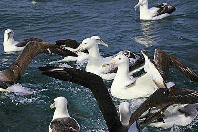 Photograph - Royal Albatross And Mollymawk by Nareeta Martin
