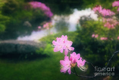 Photograph - Royal Azaleas At Asticou Azalea Garden by Anita Pollak