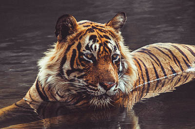 Photograph - Royal Bengal Tiger In Matte  by Manjot Singh Sachdeva