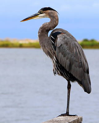 Photograph - Royal Blue Heron by Larry Beat