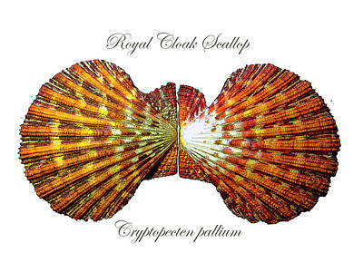 Photograph - Royal Cloak Scallop Cryptopecten Pallium  by Frank Wilson