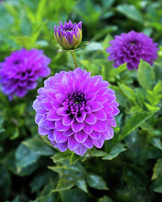 Royal Dahlia Delight Art Print