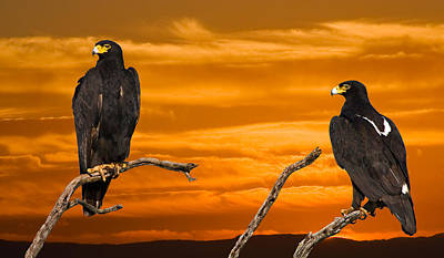 Royal Flush - African Black Eagles Original by Basie Van Zyl