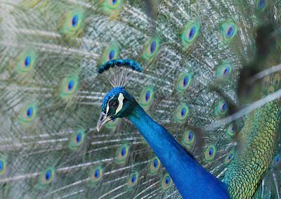 Photograph - Royal Fowl 4 by Fraida Gutovich