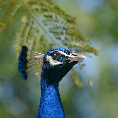 Photograph - Royal Fowl 5 by Fraida Gutovich