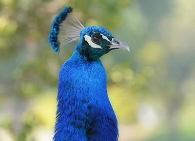 Photograph - Royal Fowl 6 by Fraida Gutovich