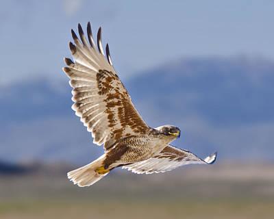 Photograph - Royal Hawk by David Martorelli