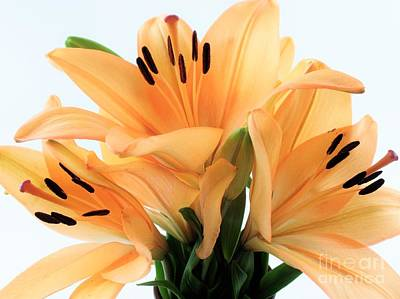 Art Print featuring the photograph Royal Lilies Full Open - Close-up by Ray Shrewsberry