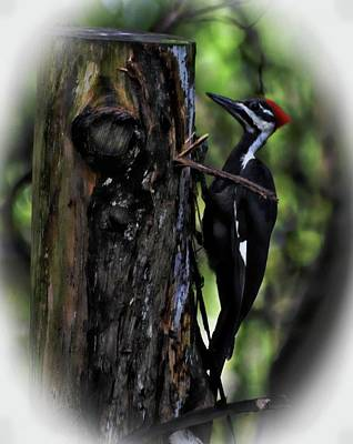 Photograph - Royal Looking Pileated Woodpecker by Sheri McLeroy