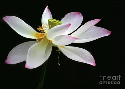 Photograph - Royal Lotus by Sabrina L Ryan
